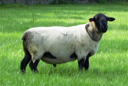 Suffolk Stock Ram