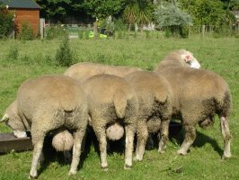 Pedigree Ile de France Rams