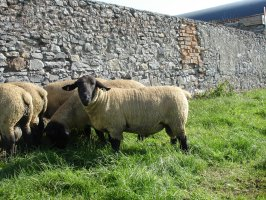 Pedigree Suffolk Rams