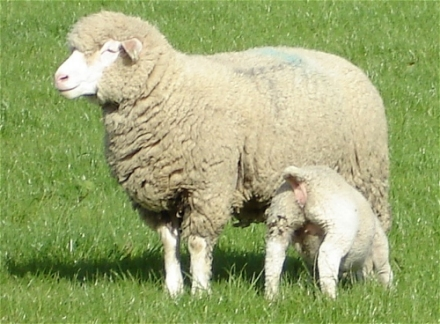 ile de france ewe and lamb at grass