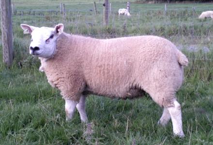 Board enamel Texel lambs